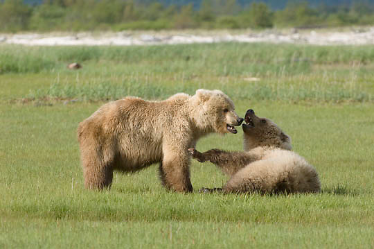 Alaskan Brown Bear (Ursus middendorffi) Play fighting. Katmai National Park. Alaska.