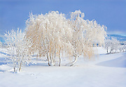 Snowy Willow Tree in Winter Afternoon Light, Washington State