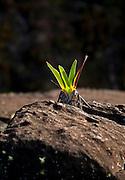 Small, wild flowers grow between the rocks on the top of Mount Roraima, Venezuela