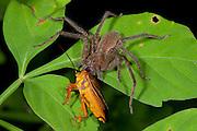 Huntsman spider. Heteropoda sp, Panama, feeding on shield bug, Central America, Gamboa Reserve, Parque Nacional Soberania