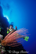 diver and red sea whips or gorgonian soft coral, Ellisella sp., Palau ( Belau ), Micronesia ( Western Pacific Ocean ) MR 136