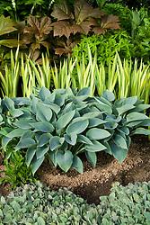 Grit used to deter slugs and snails around Hosta 'Halcyon' with Iris pseudacorus 'Variegata' and Rodgersia podophylla