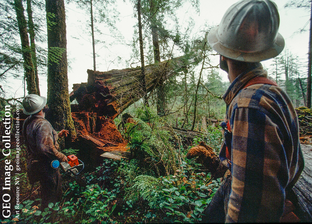 A logger watches a cedar tree fall after being cut by his partner.