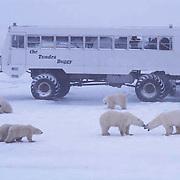 Polar Bear, (Ursus maritimus) Tundra Buggy and polar bears. Churchill, Manitoba. Canada.