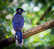 The plush-crested jay (Cyanocorax chrysops) is a jay of the family Corvidae (which includes the crows and their many allies). It is found in central-southern South America: in southwestern Brazil, Bolivia, Paraguay, Uruguay, and northeastern Argentina, including southern regions of the Amazon Basin river systems bordering the Pantanal.<br /> <br /> This is an elegant medium-sized bird, dark plumaged with a cream-yellow breast; the bulky tail is also cream colored, top and underneath, for the lower half.
