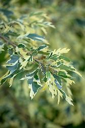 Quercus cerris 'Argenteovariegata' - Turkey oak