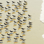 A group of Sanderling brids on the beach running away from the tide coming in (Santa Cruz, California)