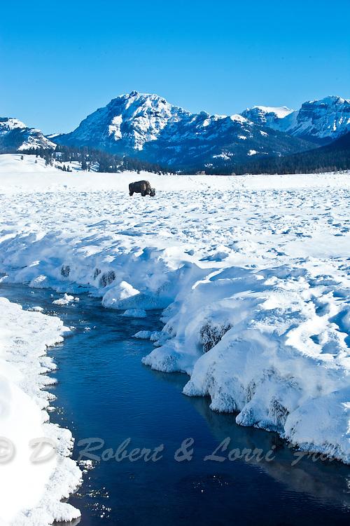 Lone bull bison in winter