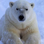 Polar Bear, (Ursus maritimus) Portrait of adult. Churchill, Manitoba. Canada.