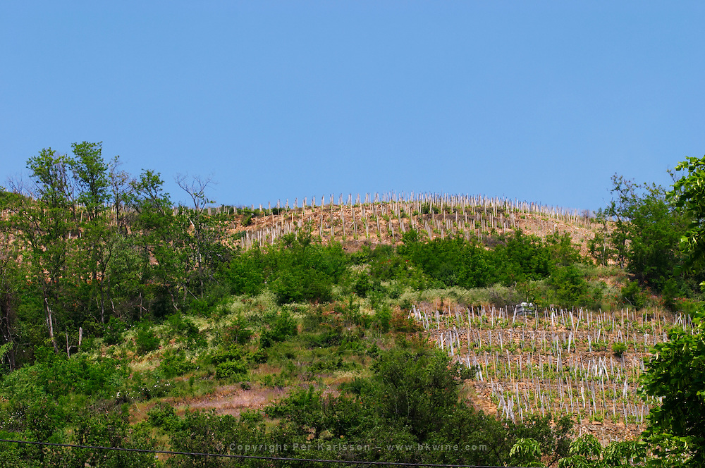 A Condrieu vineyard that belongs to Andre Perret, across the street from his winery. It has just been cleaned from bushes and trees and replanted with vines.  Andre André P et A Perret, Chavanay, Rhone, France, Europe