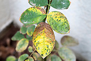 Rose Rust fungus on a leaf. This disease is caused by the rust fungus Phragmidium sp.