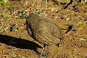Swainson's spurfowl, Pternistes swainsonii, Limpopo, South Africa