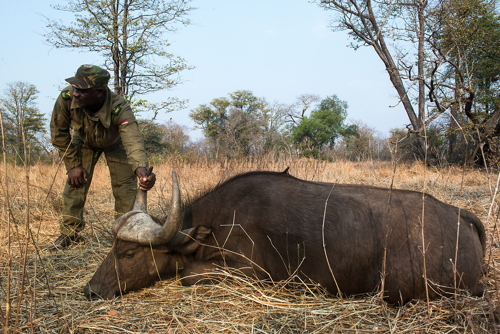 Sedated African buffalo (Syncerus caffer)<br /> Liwonde National Park, MALAWI, Africa<br /> International veterinary team testing buffalo for foot-and-mouth disease in a trans-border veterinary effort. Tests include a 'Probang' throat scrape and blood test. Chopper used as a darting platform.