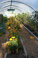 Companion planting in an organic polytunnel, to encourage pollination and deter pests