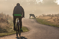 © Licensed to London News Pictures. 10/10/2018. London, UK. A cyclist passes a deer at sunrise in Bushy Park, south London. Forecasters are expecting unusually warm temperatures for October. Photo credit: Rob Pinney/LNP