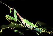 Tree Mantis, Liturgusa annulipes, Hacienda Baru, Costa Rica, tropical jungle, on leaf, Central America