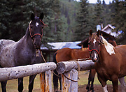"""Horses """"Shorty"""" and """"Scout"""" tied to hitching post at the Caribou Creek Cabin, Talkeetna Mountains, Alaska."""