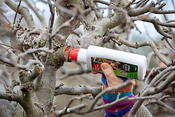 Using wound seal on the fresh cuts of a pruned fruit tree