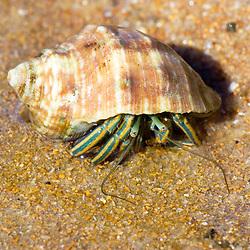 """Bernardo-eremita Paguroidea (Paguroidea) fotografado em Guarapari, Espírito Santo -  Sudeste do Brasil. Bioma Mata Atlântica. Registro feito em 2008.<br /> <br /> <br /> <br /> ENGLISH: Hermit crab photographed in Guarapari, Espírito Santo - Southeast of Brazil. Atlantic Forest Biome. Picture made in 2008."""