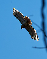 Red-tailed Hawk (Buteo jamaicensis). Image taken with a Nikon D2xs camera and 80-400 mm VR lens.