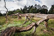 Europa, Deutschland, Nordrhein-Westfalen, Troisdorf, abgestorbener Baum in der Wahner Heide. - <br /> <br /> Europe, Germany, Troisdorf, North Rhine-Westphalia, dead wood in the Wahner Heath.