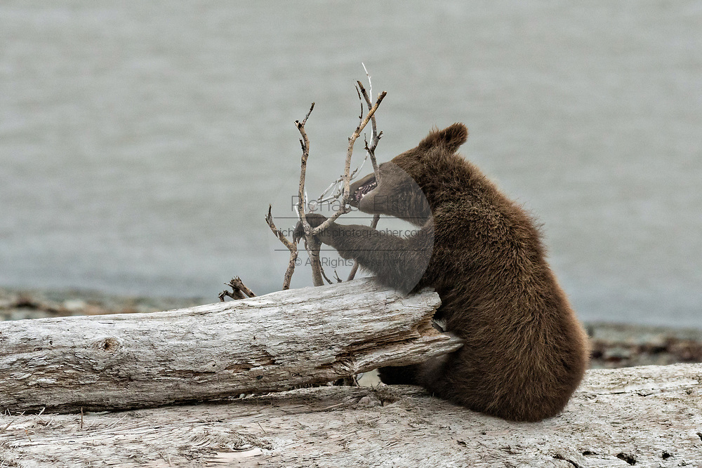 A brown bear spring cub chews on driftwood on the beach along the Cook Inlet at the McNeil River State Game Sanctuary on the Kenai Peninsula, Alaska. The remote site is accessed only with a special permit and is the world's largest seasonal population of grizzly bears in their natural environment.
