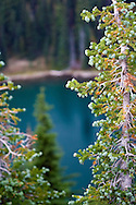 A Subalpine fir (abies lasiocarpa) with Sunrise Lake in the background.  Taken from Sunrise Point in Mount Rainier National Park.