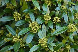 Skimmia × confusa 'Kew Green'