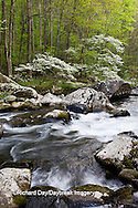 66745-04115 Dogwood trees in spring along Middle Prong Little River, Tremont Area, Great Smoky Mountains National Park, TN