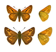 Large Skipper - Ochlodes venatus. (Male - top; Female - bottom) Wingspan 34mm. Colourful little butterfly that typically holds its wings angled in a moth-like manner. Adult has dark brown upperwings with pale markings. Underwings are buffish orange with paler spots. Flies June–July. Larva is nocturnal and feeds on various grasses. Common and widespread in England and Wales in a wide range of grassy habitats.