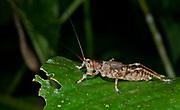 Unidentified katydid from La Selva, Ecuador.