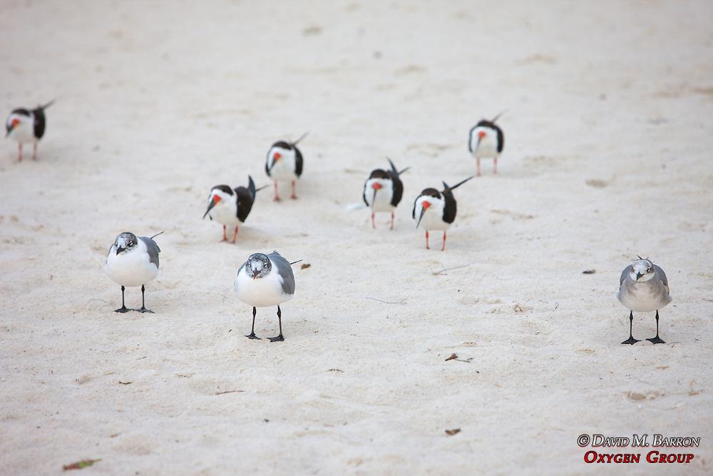 Laughing Gulls & Black Skimmers