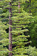Coast Redwood (Sequoia sempervirens) forest along the Jedediah River near the northern California coast