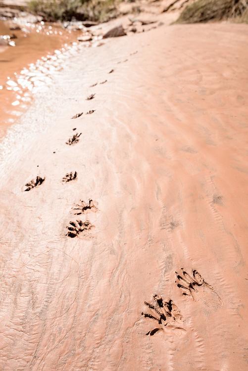 Raccoon tracks on a sandy streambed, Grand Gulch Primitive Area, Utah.