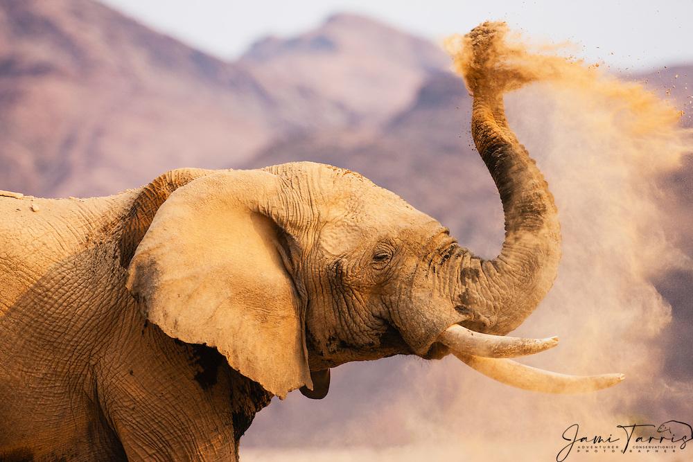 A desert-dwelling elephant dusting in the morning sunlight (Loxodonta africana), Skeleton Coast, Namibia, Africa