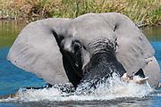 African elephant (Loxodonta africana), Khwai Concession, Okavango Delta, Botswana.
