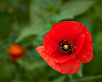 Red Poppy flower in my backyard wildflower meadow. Summer nature in New Jersey. Image taken with a Leica T camera and 55-135 mm zoom lens (ISO 100, 135 mm, f/5.6, 1/250 sec).