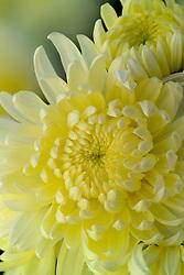 Chrysanthemum 'White Allouise'