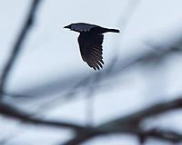 American Crow (Corvus brachyrhynchos). Image taken with a Nikon N1V3 camera and 70-300 mmVR lens.