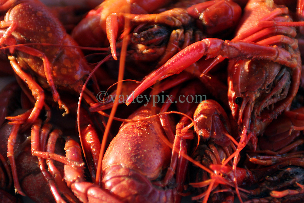 07 May 2010. Venice, Louisiana. Deepwater Horizon, British Petroleum environmental oil spill disaster.<br /> Cooked louisiana crawfish, a species harvested from wetlands potentially threatened by British Petroleum's massive Gulf Coast oil spill.<br /> Photo credit; Charlie Varley/varleypix.com