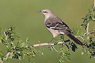 Northern Mockingbird - Mimus polyglottos - adult