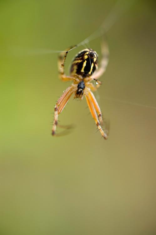 Black and yellow garden spider (Argiope bruennichi), Lake Skadar National Park, Montenegro