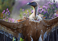 Griffon Vulture (Gyps fulvus) Extremadura, Spain. April 2009