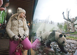 Eve Miller, from Bridge of Allan. Tian Tian, Edinburgh Zoo's female panda bear, looks out from her enclosure, as she was introduced to the British public on Friday 16 December..Pic © Michael Schofield..