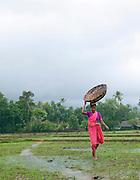 Women working in a rice paddy in the monsoon rains, Cochin, Kerala, India.