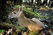 a newborn nilgai calf (Boselaphus tragocamelus) less than 24 hours old. Range: Pakistan and India. Captive.
