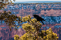 United States, Arizona, Grand Canyon. Hopi Point, a raven in a tree.
