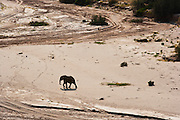 An aerial view of a desert adapted elephant (Loxodonta Africana) moving to vegetation for feeding,Skeleton Coast,Namibia ,Africa