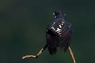Black Baza, Aviceda leuphotes, sitting on a tree branch, Guangshui, Hubei province, China