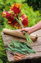 Conditioning tulips - swaddling<br /> Tying stems